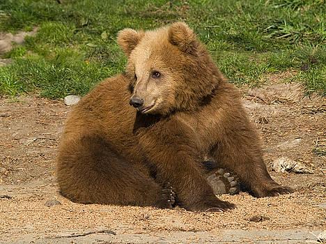 Sitting Bear by Andrew Kazmierski