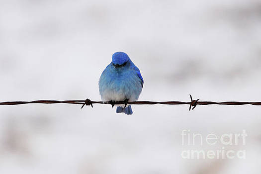 Sitting on Barbed Wire by Alyce Taylor