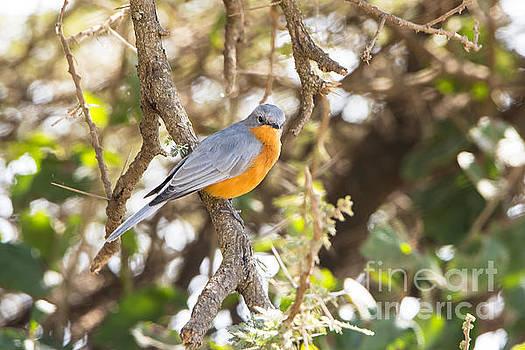 Pravine Chester - Siverbird in the bush