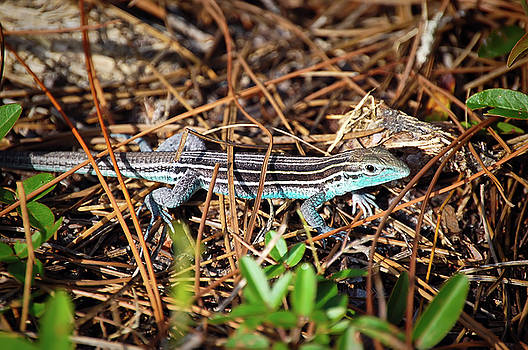 Six-lined Racerunner by Rich Leighton