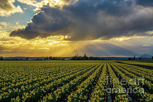 Skagit Daffodil Fields Sunset Sunrays by Mike Reid