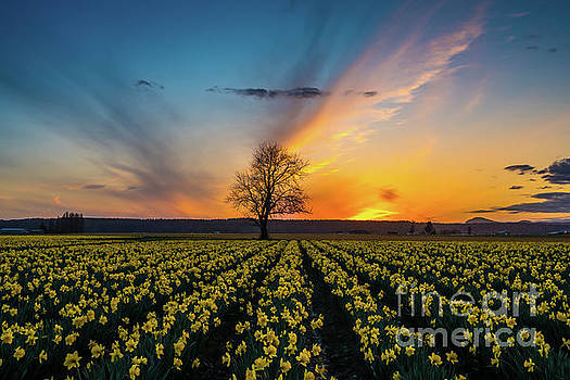 Skagit Daffodils Feather Sunset by Mike Reid