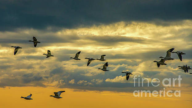 Skagit Snow Geese on the Wing at Dusk by Mike Reid