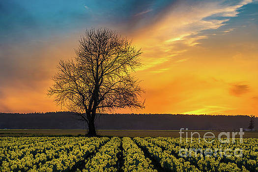 Skagit Sunset Fiery Skies Over Daffodils by Mike Reid