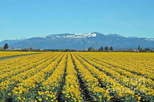 Skagit Valley Daffodils by Carol Eliassen