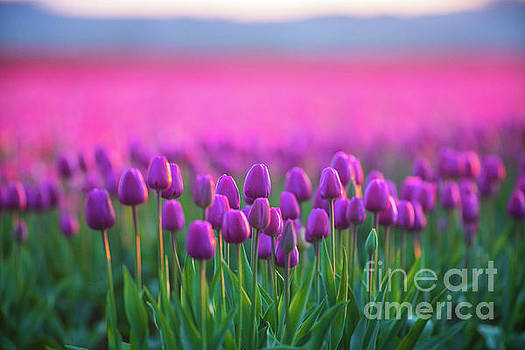 Skagit Valley Tulip Festival Layers of Pink and Magenta by Mike Reid