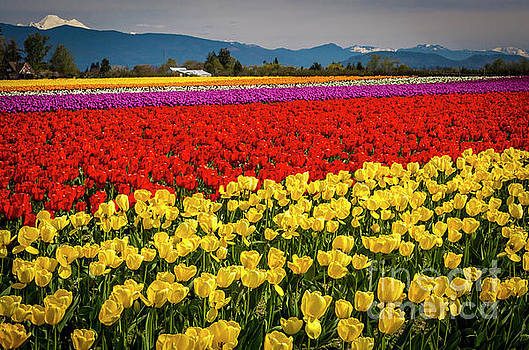 Skagit Valley Tulips  by Sal Ahmed