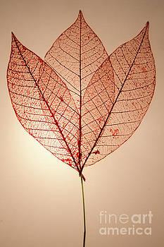 Skeleton Leaves by Susan Cliett