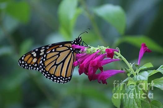 Monarch Visit by Dodie Ulery