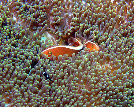 Pauline Walsh Jacobson - Skunk Anemonefish, Indonesia