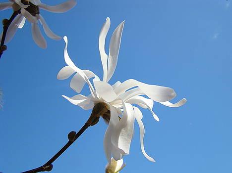 Baslee Troutman - Sky Blue Art Prints White Magnolia Flower Spring Baslee Troutman