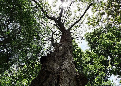 Chang - Skyward Tree