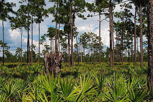 Slash Pine and Saw Palmetto by Steven Scott