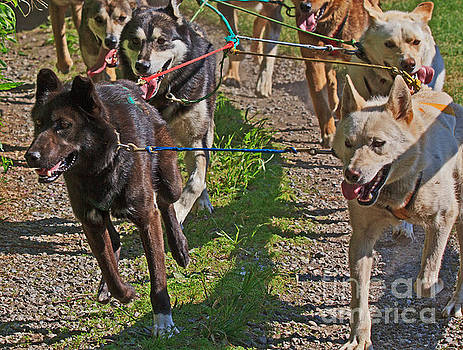 Sled Dogs by Robert Pilkington