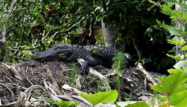 Barbara Bowen - Sleeping Alligator