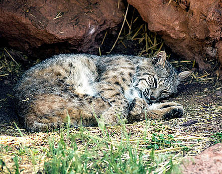 Sleeping Bobcat by Eric Killian