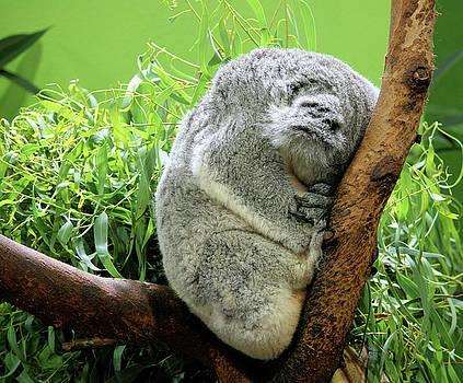 Sleeping Koala Bear by Cathy Harper