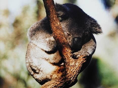 Sleeping Koala by Muri McCage