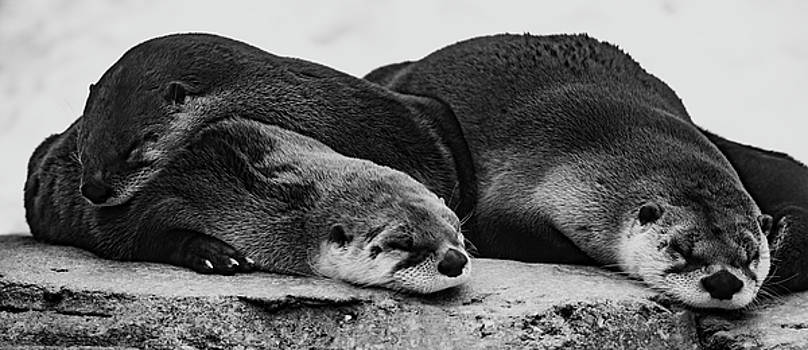 Sleeping North American River Otters  by Tracy Winter