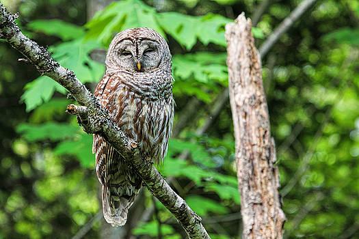 Peggy Collins - Sleeping Owl