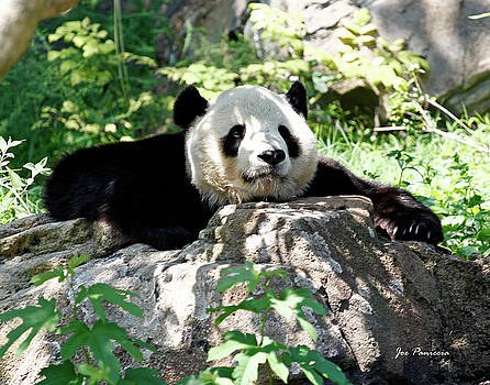 Sleeping Panda by Joe Paniccia