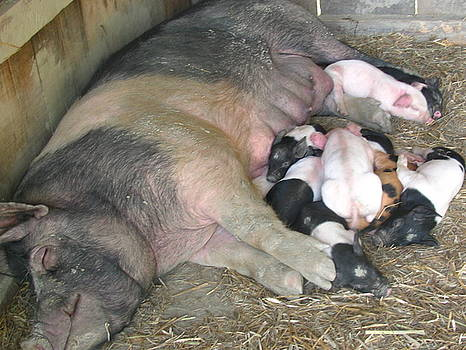 Tammy Bullard - Sleeping Pigs