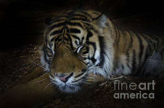 Sleeping tiger painterly by Steev Stamford