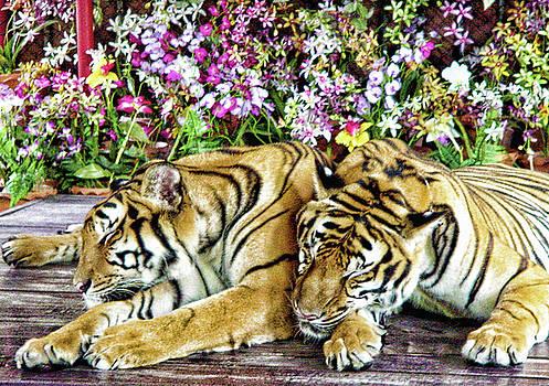 Sleeping Tigers by Judi Saunders