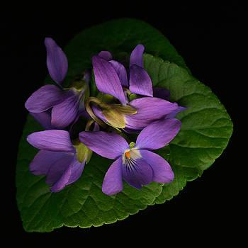 Marsha Tudor - Sleeping Violets