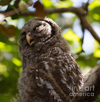 Sleepy Baby Barred Owl by Natural Focal Point Photography