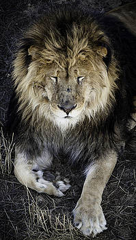 Sleepy Lion by Jason Moynihan
