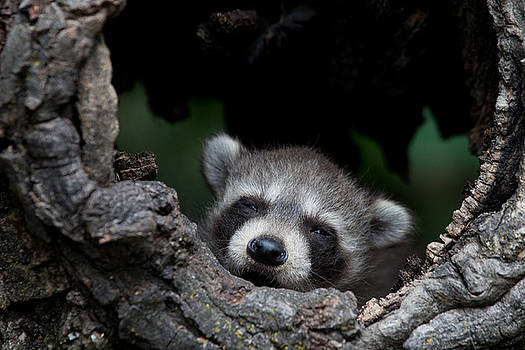 Sleepy Raccoon Kit by Paul Burwell