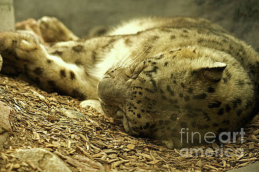 Sleepy Snow Leopard by Elaine Mikkelstrup