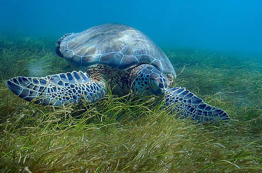 Sleepy Turtle by Steven Dramstad