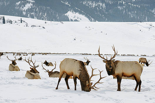 Reimar Gaertner - Sleigh ride to Herd of Elk wintering at the National Elk Refuge