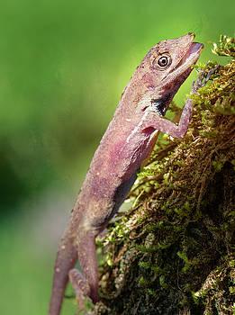 Slender Anole Costa Rica by Joan Carroll