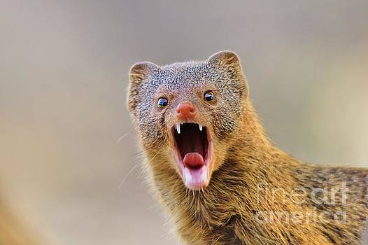 Hermanus A Alberts - Slender Mongoose - Life is a Growl
