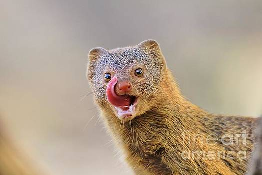 Slender Mongoose - Taste of Life by Hermanus A Alberts