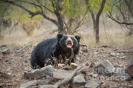 Sloth Bear Stare by Pravine Chester
