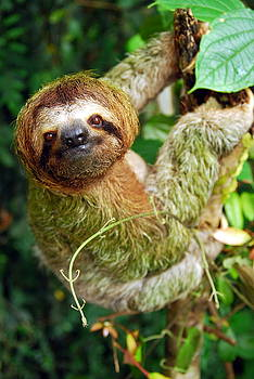 Sloth  by Kathryn Colvig