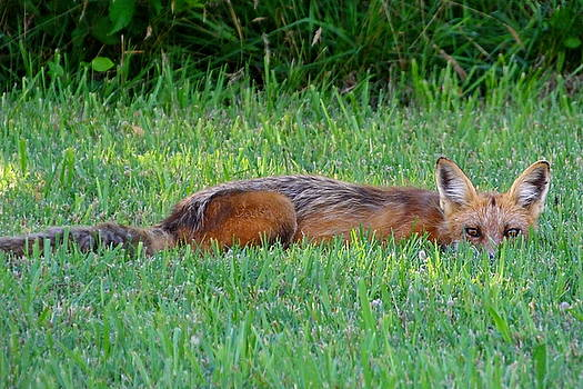 Sly Fox Hiding in Grass by Francie Davis