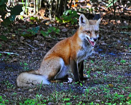 Sly Fox by Wayne Ritt