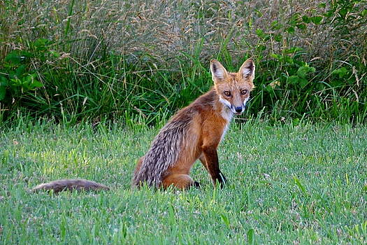 Sly Red Fox Poses for Photo by Francie Davis