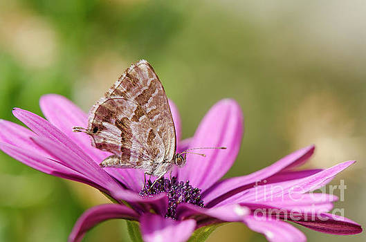 Small butterfly on daisy by Perry Van Munster