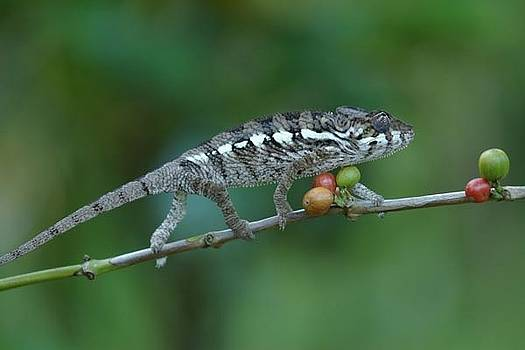 Small Chameleon by Stephen OHara