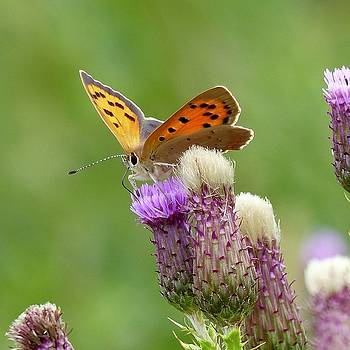 Small Copper on thistles by Sarah Fowle