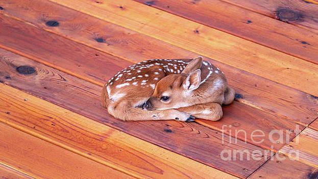 Small Deer Fawn Resting on Cedar Wood Deck by PorqueNo Studios