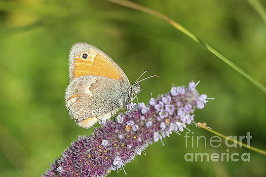 Small heath - Coenonympha pamphilus by Jivko Nakev