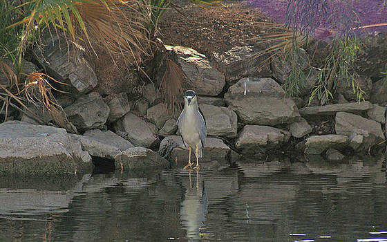 Small heron by Robert Rodda