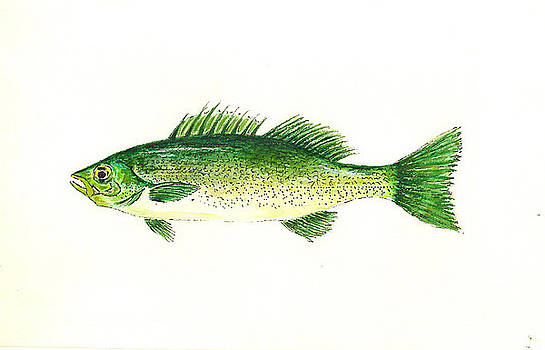 Small Mouth Bass by Michael Vigliotti
